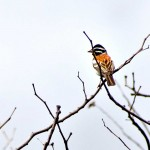 Golden Breasted Bunting