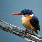 Malacite Kingfisher