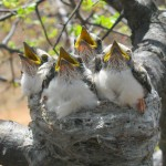White Crested Helmeted Shrike babies