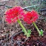 Blood Lily Multiflorus