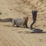 Mongoose and a Cobra