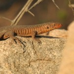Plated Lizzard