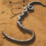 Stilleto Snake and Blind Snake