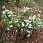 Tassle Flower